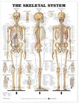 Picture of Skeletal System Anatomical Chart