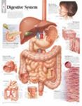 Picture of Anatomical Wall Chart - Digestive System