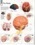Picture of ANATOMICAL WALL CHART - BRAIN