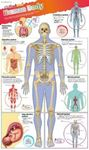 Picture of DKfindout! Human Body Poster